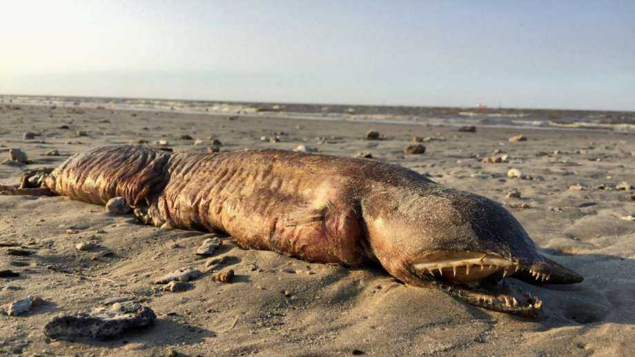 A mysterious creature washed up shore in Texas City after Hurricane Harvey and it has the Twitterverse wondering what it is. Some believe it is a fangtooth snake-eel, a garden or a conger eel.