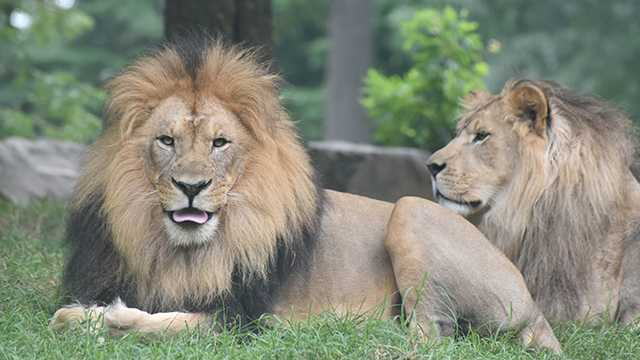Maryland Zoo lions Hassan, Luke