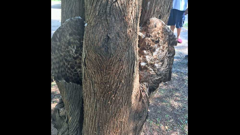 Hawk stuck in tree