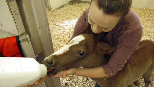 In this Thursday, May 3, 2018 photo,Erin Hisrich, owner of Aspen Veterinary Clinic in Flagstaff, Ariz., attempts to bottle feed a foal that nearly died from dehydration.