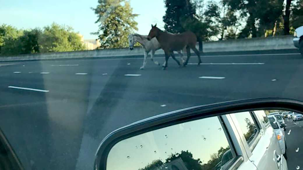 A horse and a mule backed up traffic on Interstate 680 in Walnut Creek on Monday, March 27, 2017.