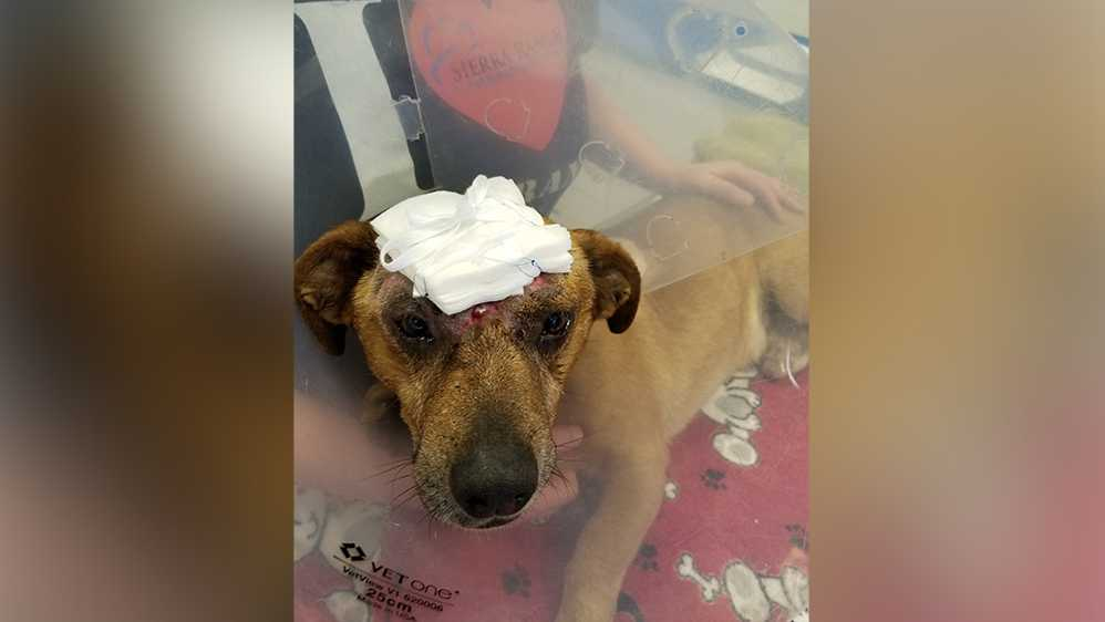 Korbin, a mixed-breed, 25-pound dog, was found abandoned June 22 at Mark White Park on Sixth Street. He had trauma to the head so severe that his skull was exposed, according to the Placer SPCA.