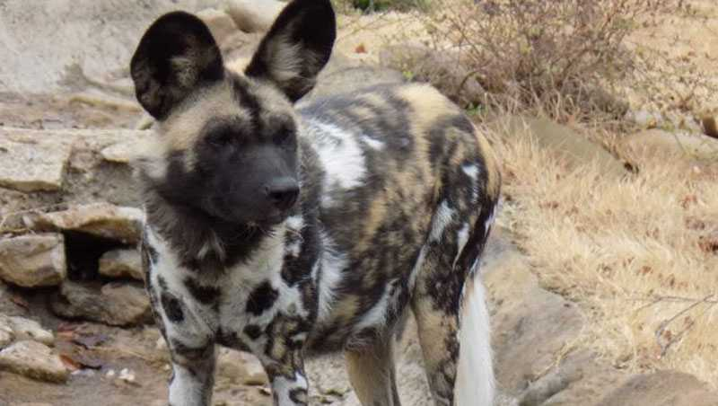 Africa painted dog Imara at the Cincinnati Zoo died March 31, 2017