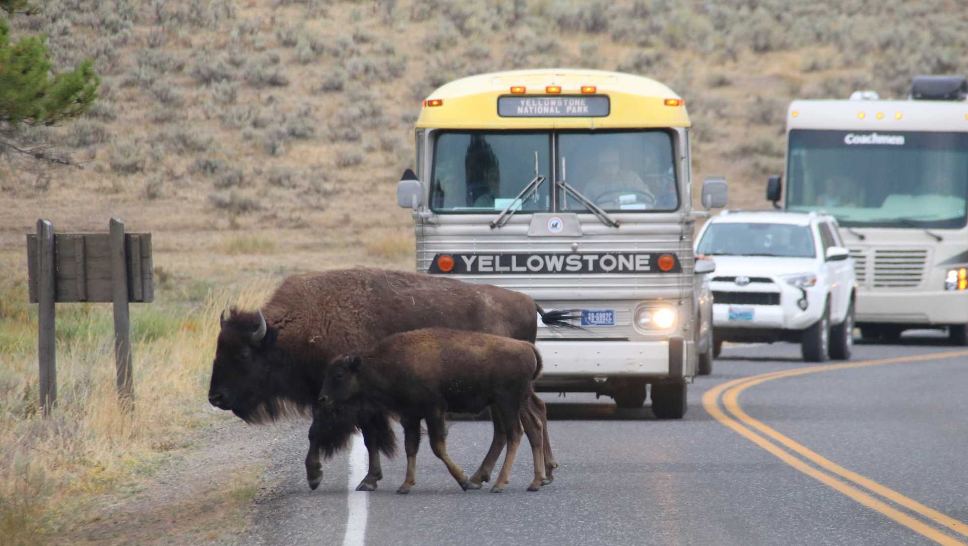 Bison cross road in Yellowstone National Park