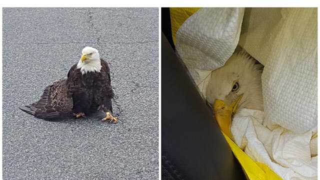 A Maryland State Police trooper did his best to help an injured eagle Friday in Charles County.