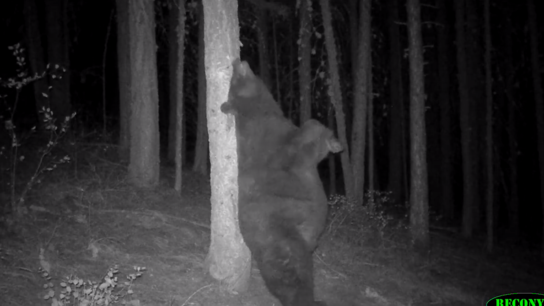Itchy bear caught on camera in Washington