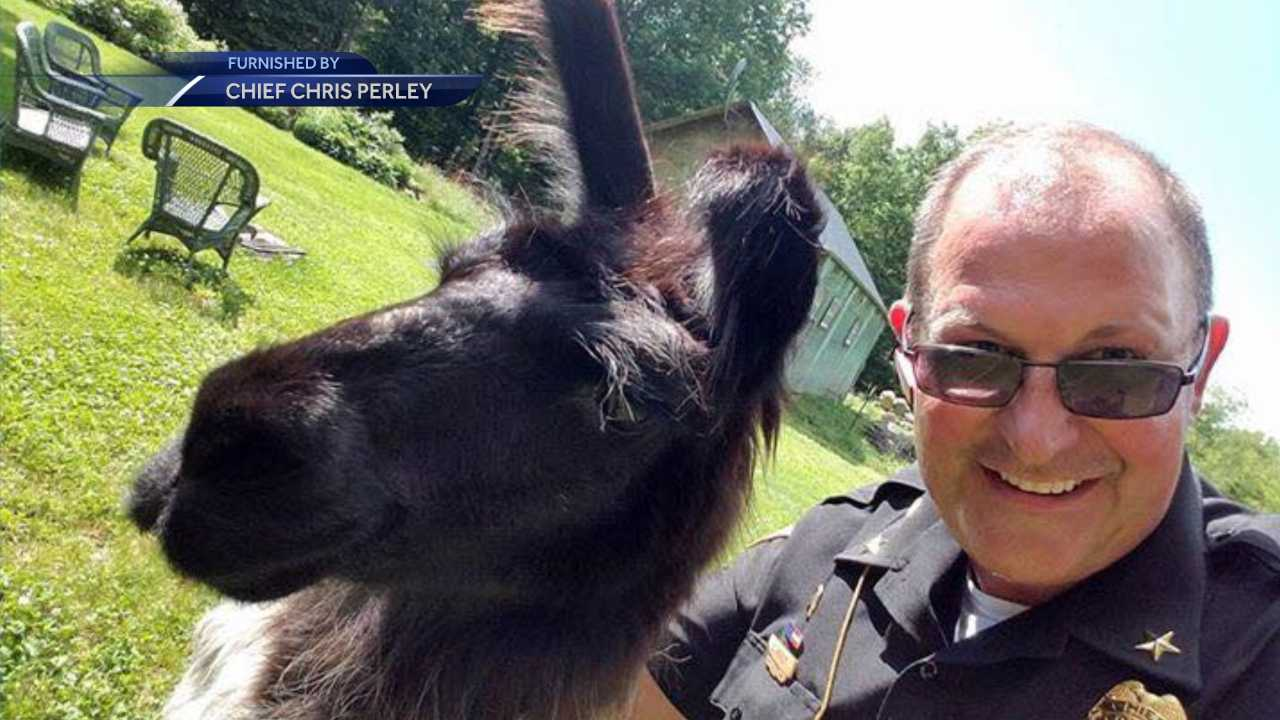 Jackson Police Chief Chris Perley poses with alpaca found wandering