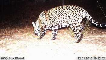 2nd Jaguar in U.S.