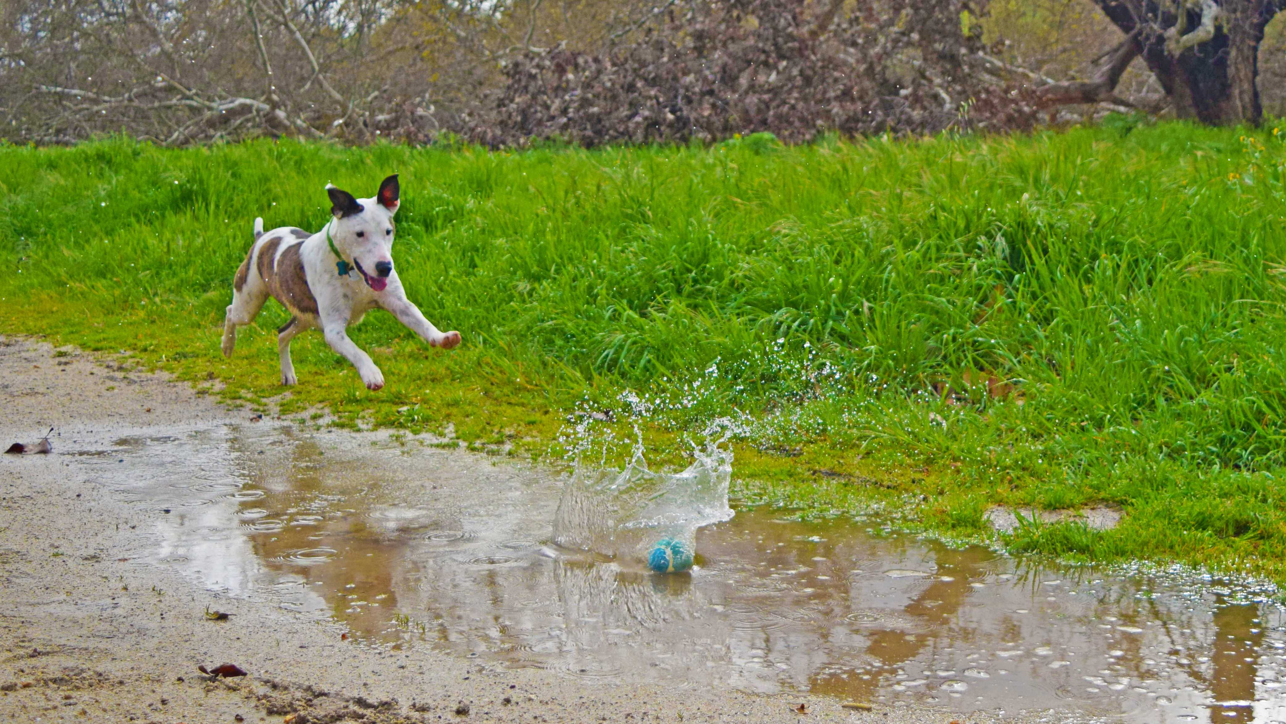 Jimmy the dog plays fetch in a puddle at Fort Ord.