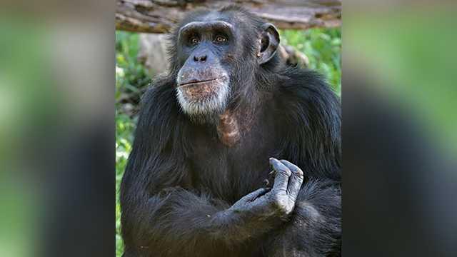 Bahati the chimpanzee
