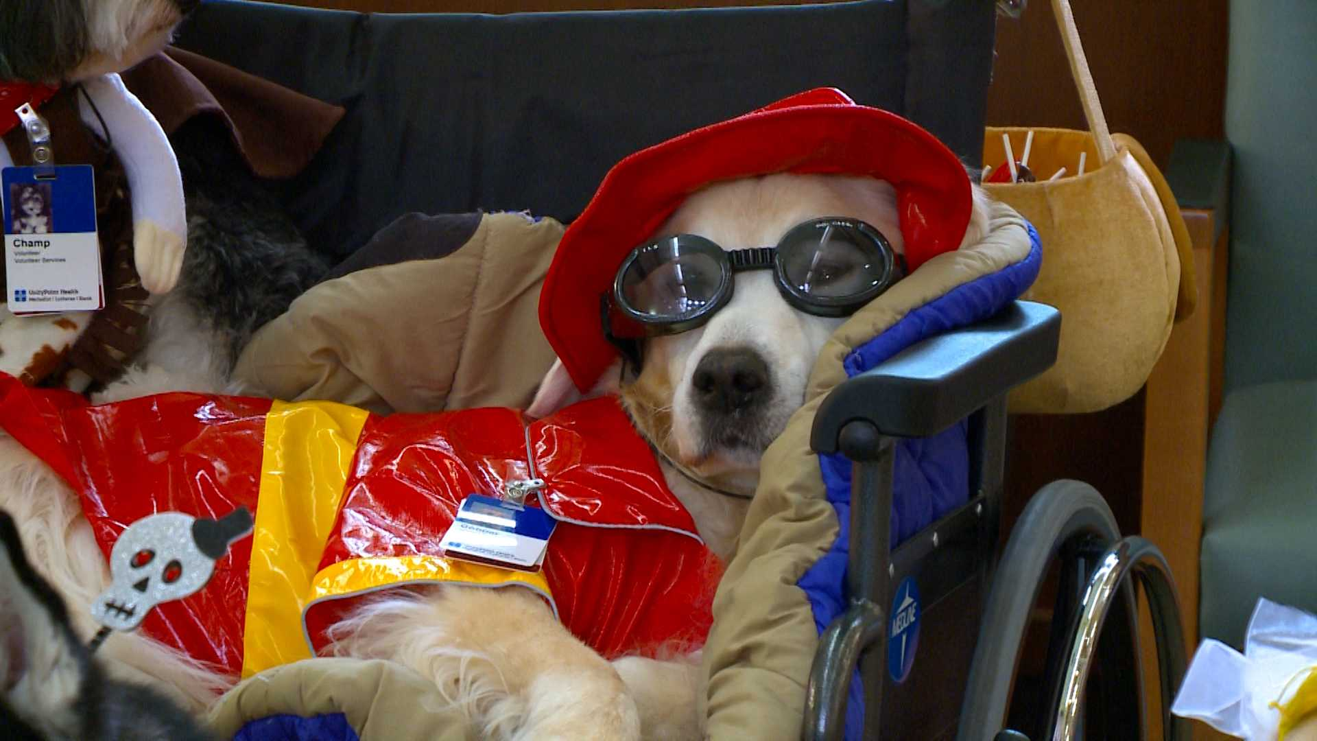 Halloween therapy dogs visit children's hospital
