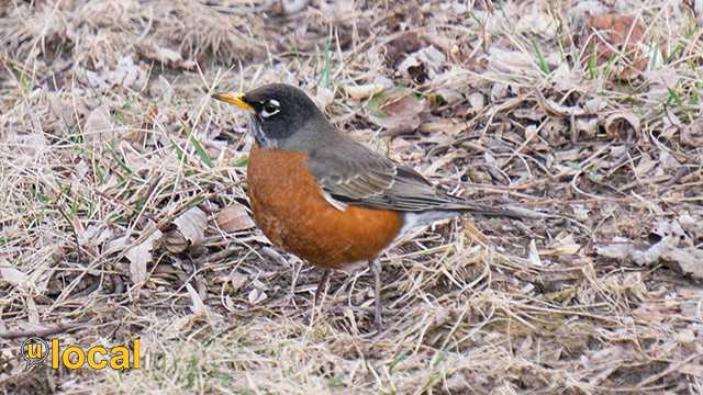 KMBC weather- First Robin of Spring