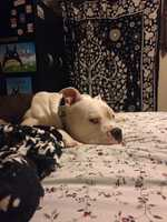 Knox pit bull