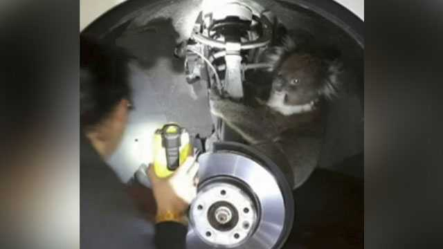 Koala survives 16km ride behind vehicle wheel in Adelaide, Australia