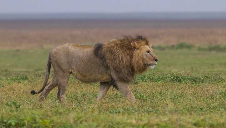 Lion file photo