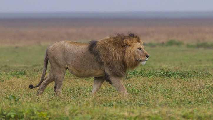 Lion file photo