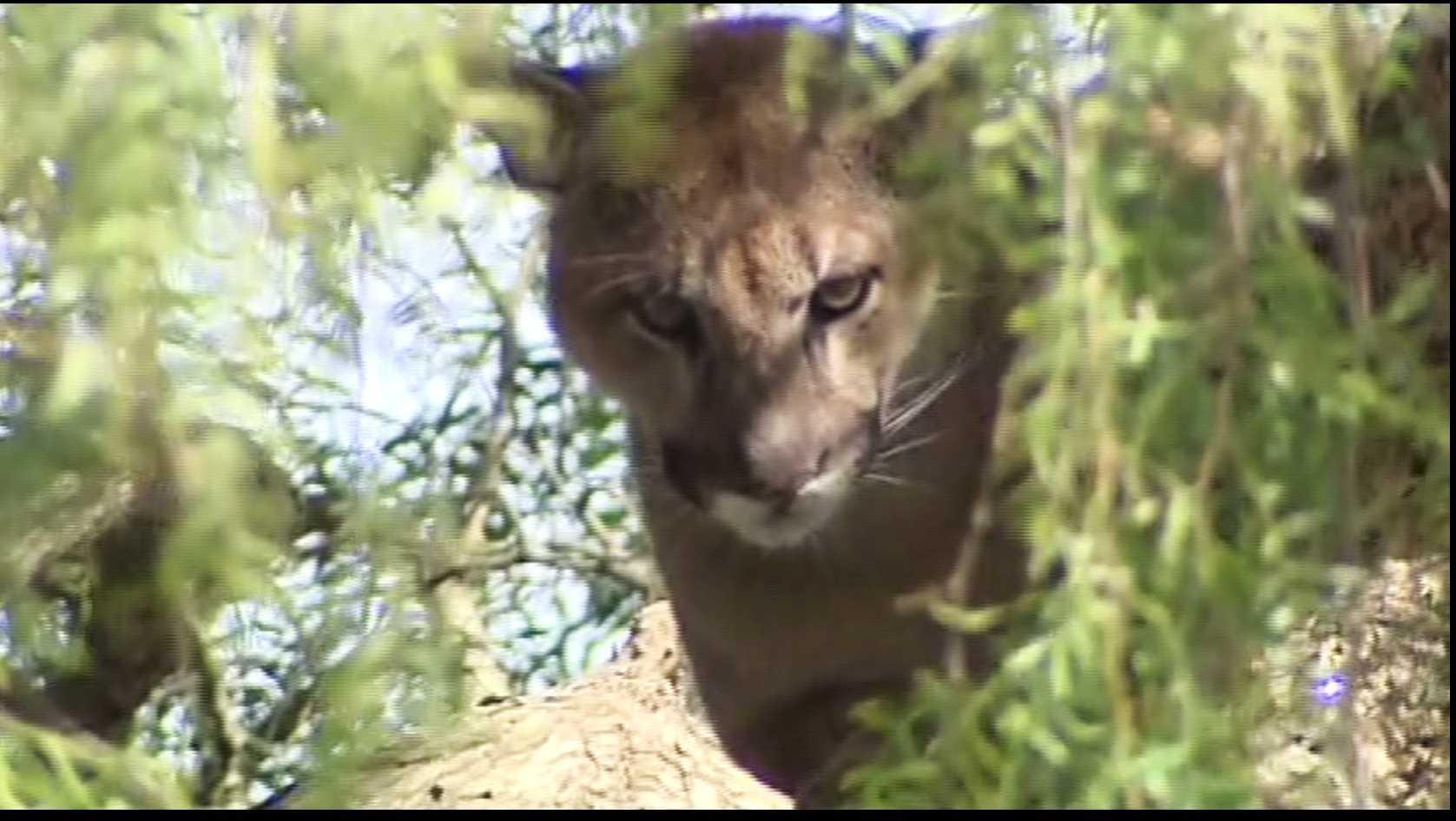 Mountain lion in Santa Cruz