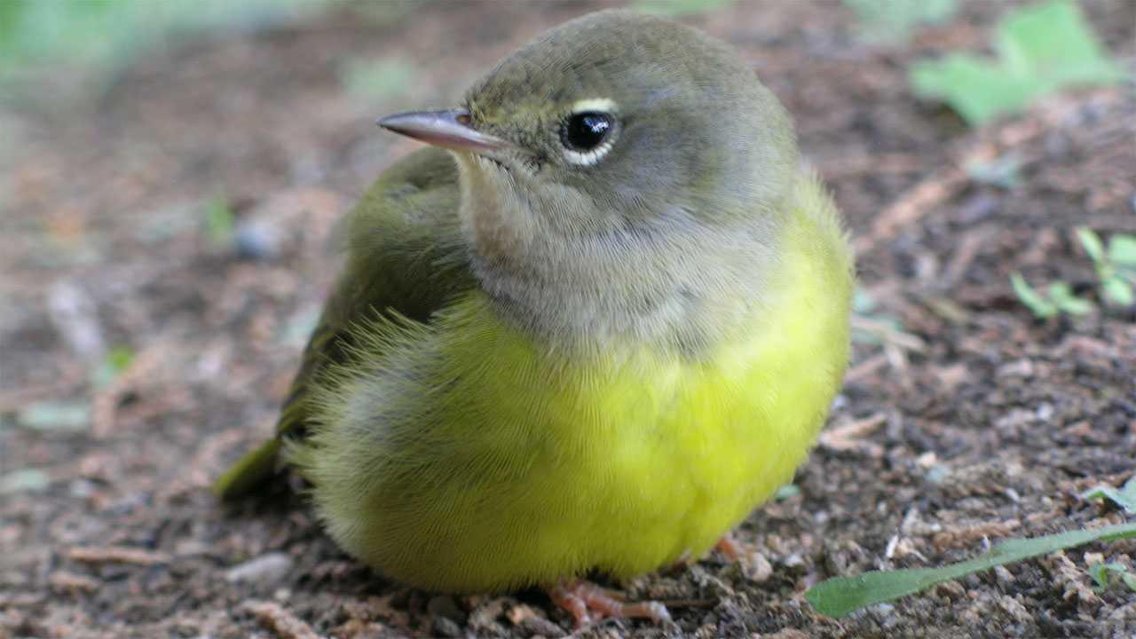 female MacGillivray's warbler