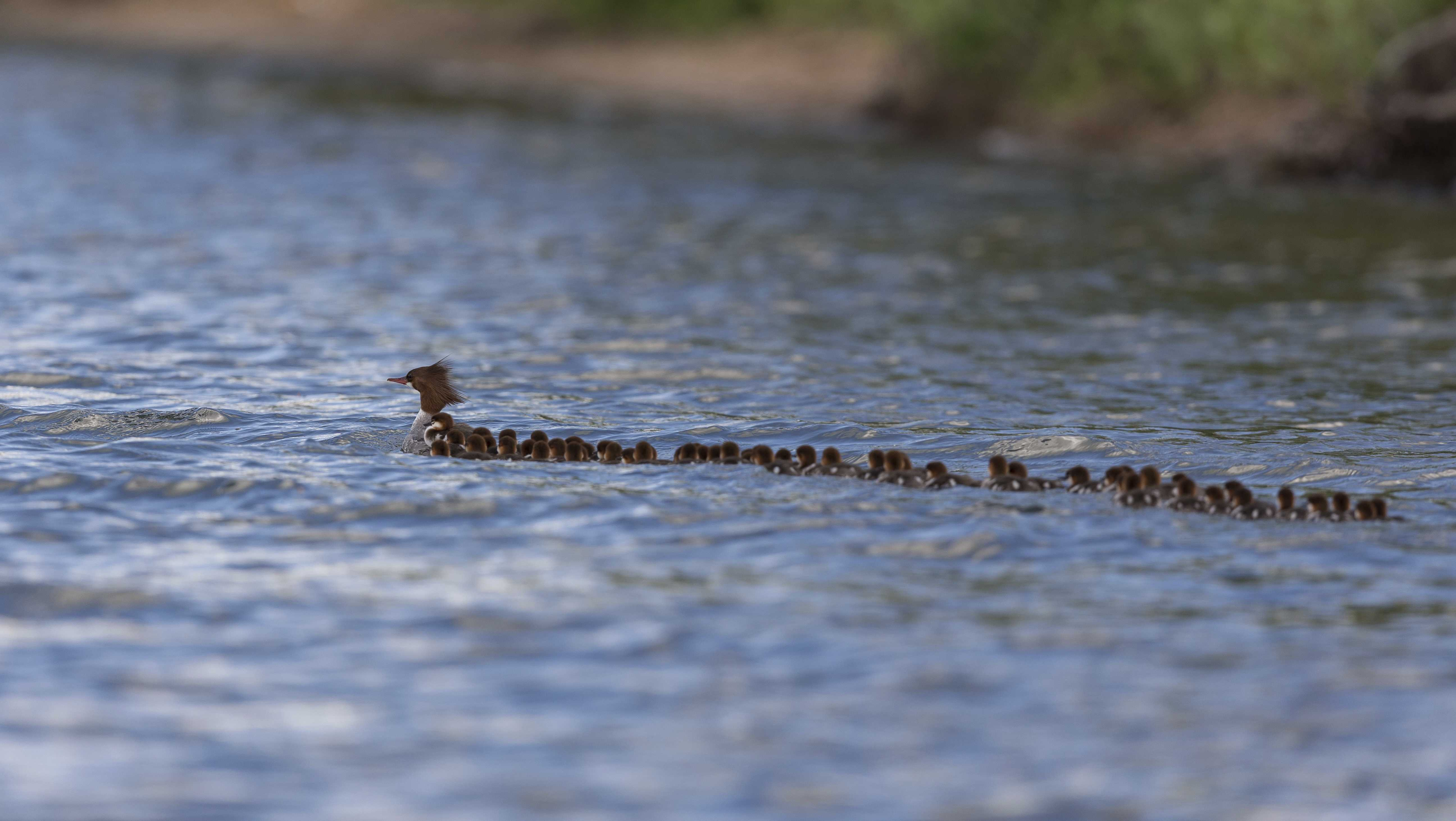 This June 27, 2018, photo provided by Brent Cizek shows a common merganser and a large group of ducklings following her, on Lake Bemidji in Bemidji, Minn.