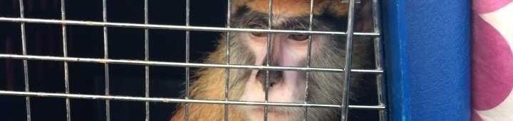 Monkey seized in Laconia