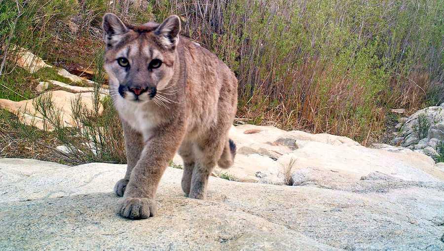 Mountain lions fear humans, UC Santa Cruz study reveals