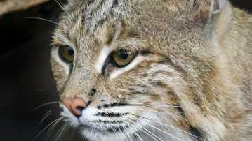 National Zoo missing bobcat