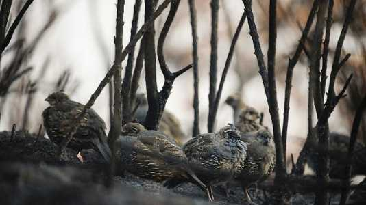 Quails seek cover in what little remains at Bottcher's Gap after Soberanes wildfire.