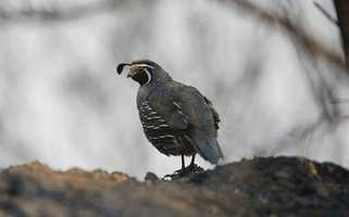 A quail surveys what's left at Bottcher's Gap.