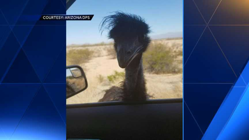 Emu found on I-10 west of Phoenix