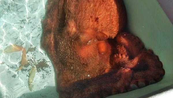 Octopus rescued