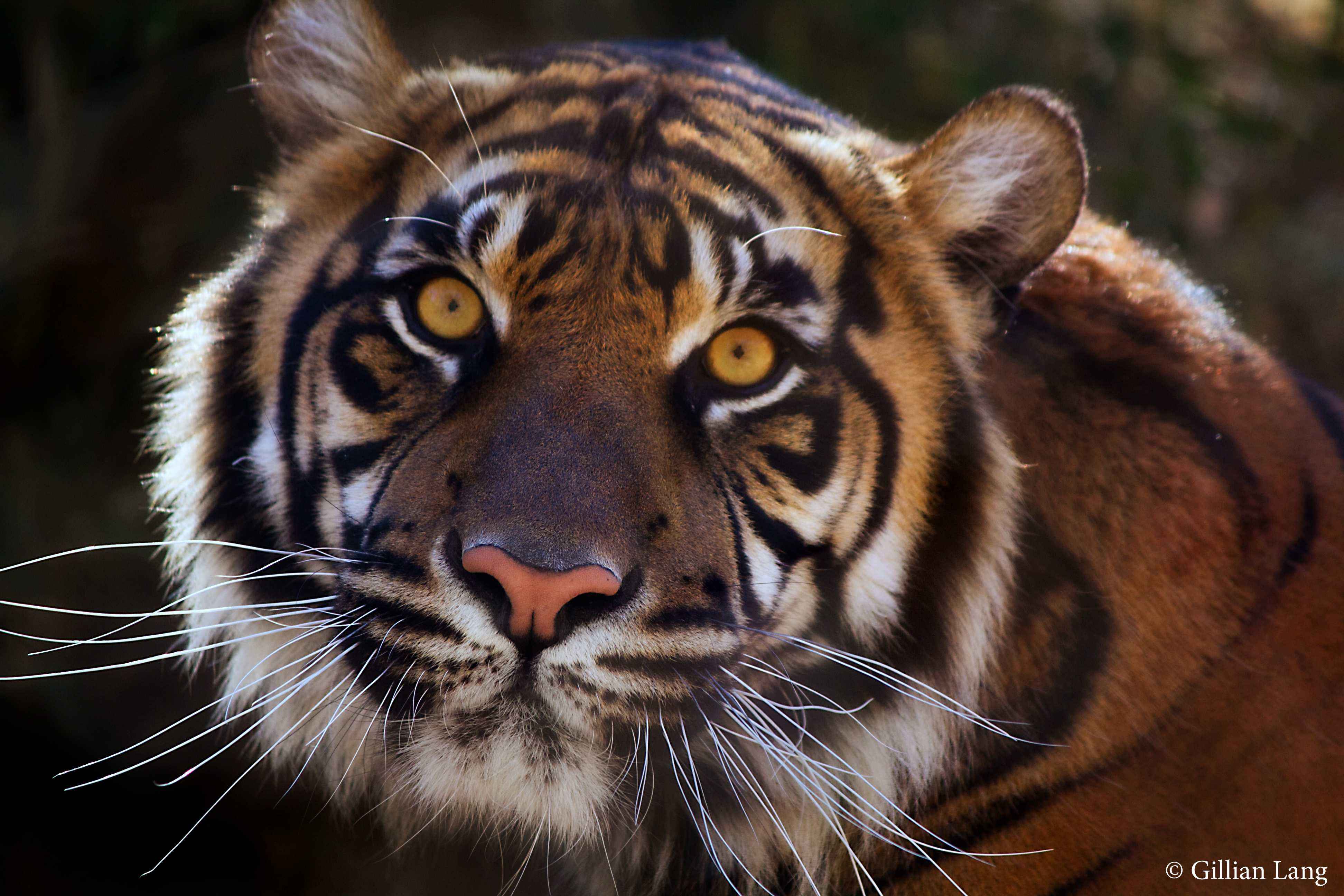 National Zoo welcomes Sumatran tiger cub