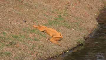 Orange alligator