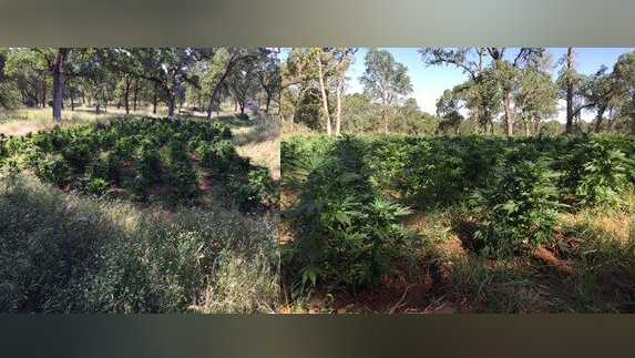 Oroville pot grow