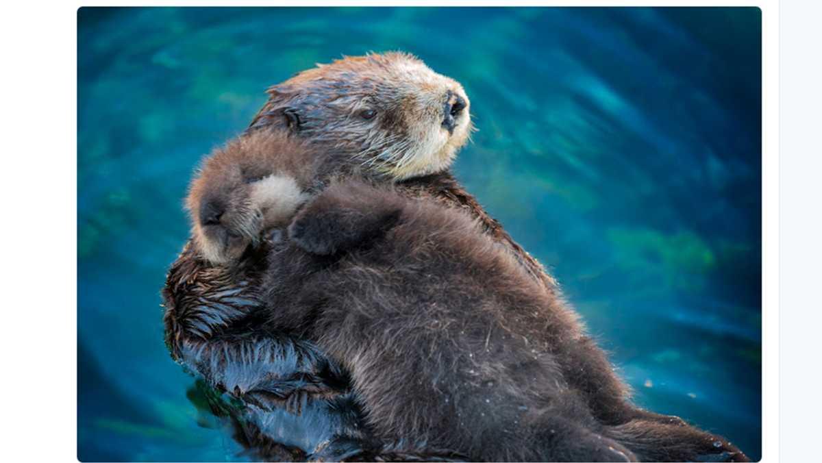 Monterey Uses Sea Otter Pup Squid For Cuteanimaltweetoff