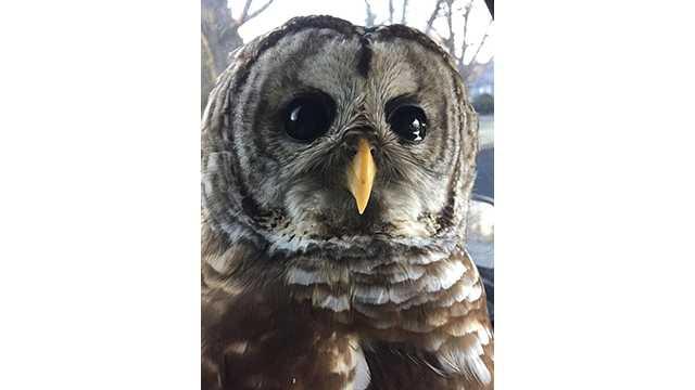 Rescued owl rehabilitating in Frisky's Wildlife and Primate Sanctuary