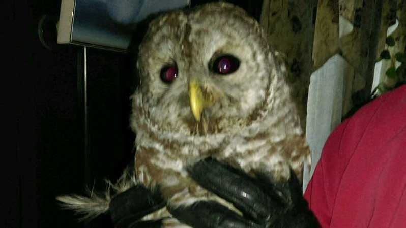 Owl rescued in living room
