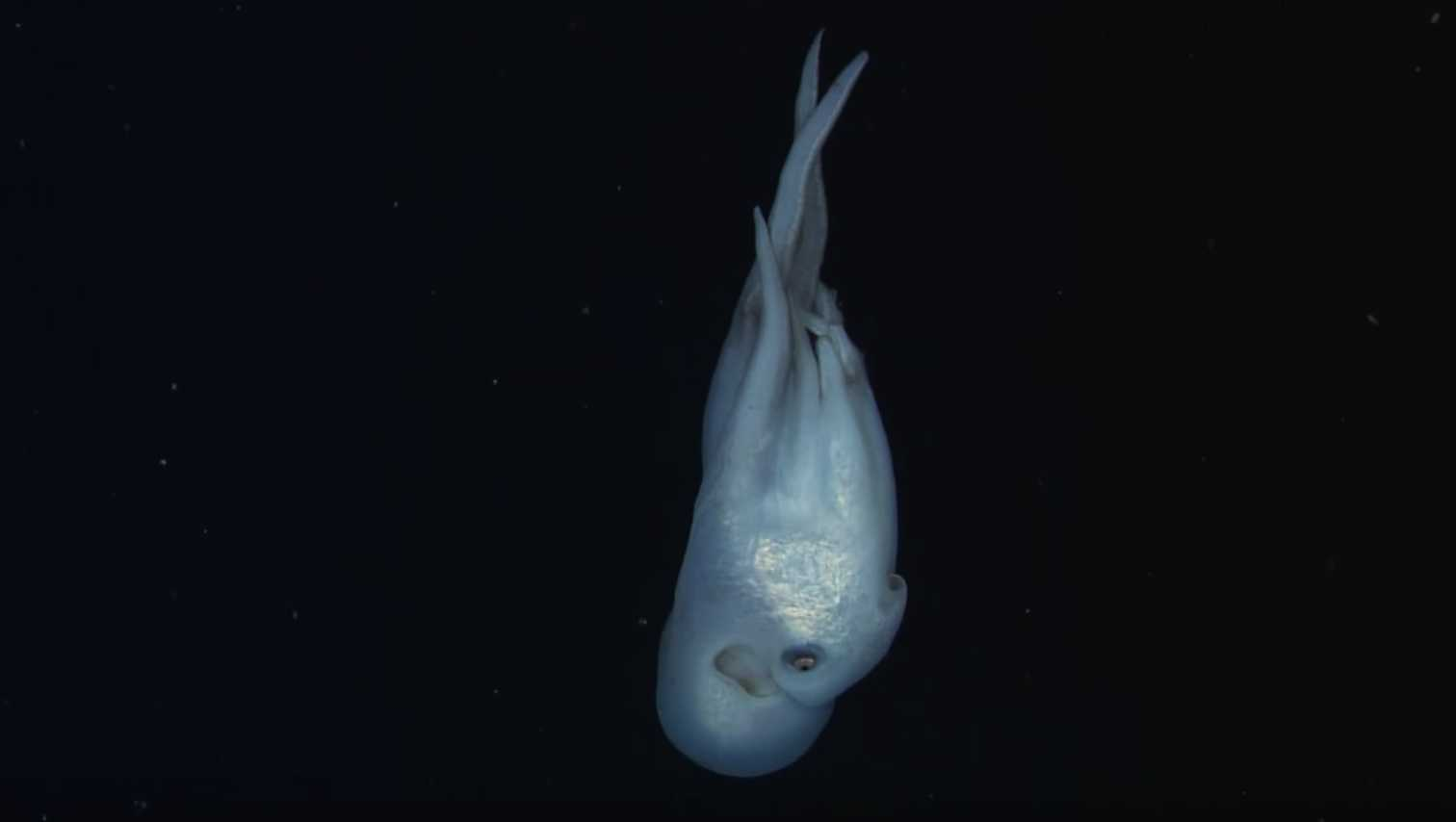 Haliphron atlanticus