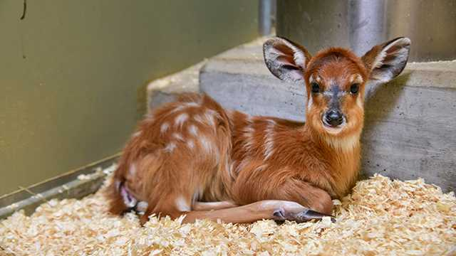 Peggy sitatunga at Maryland Zoo