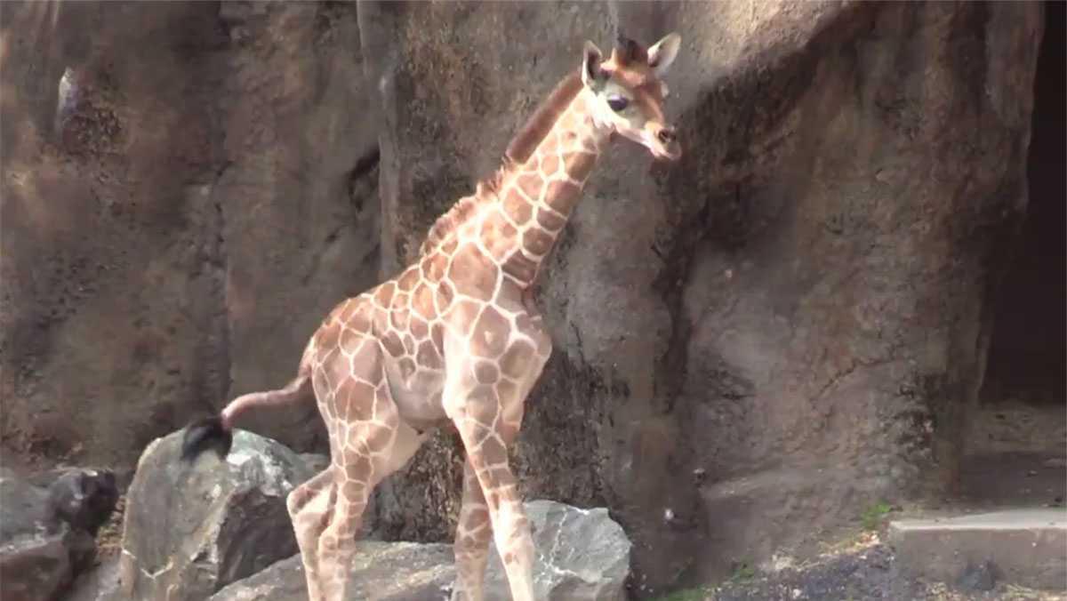 Beau the giraffe