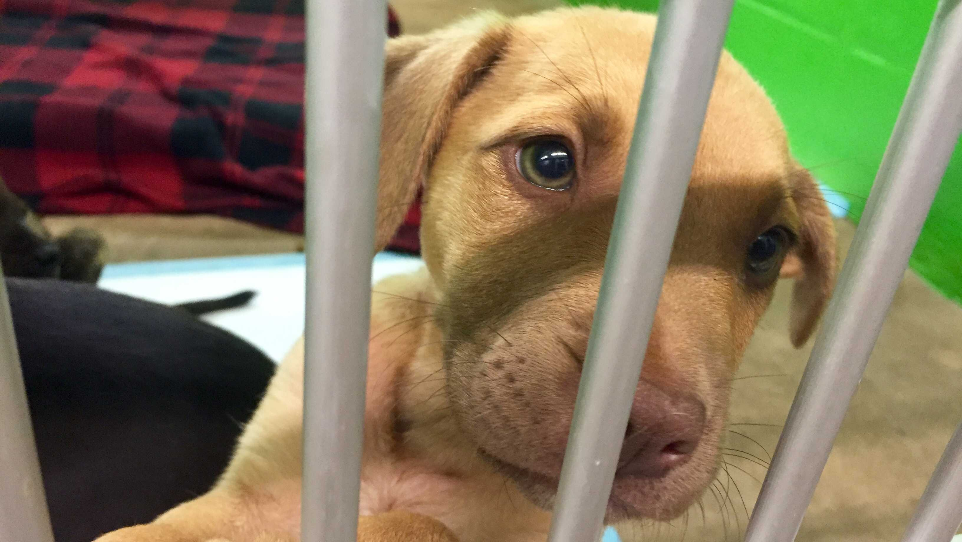 Puppy at Pickens County Humane Society