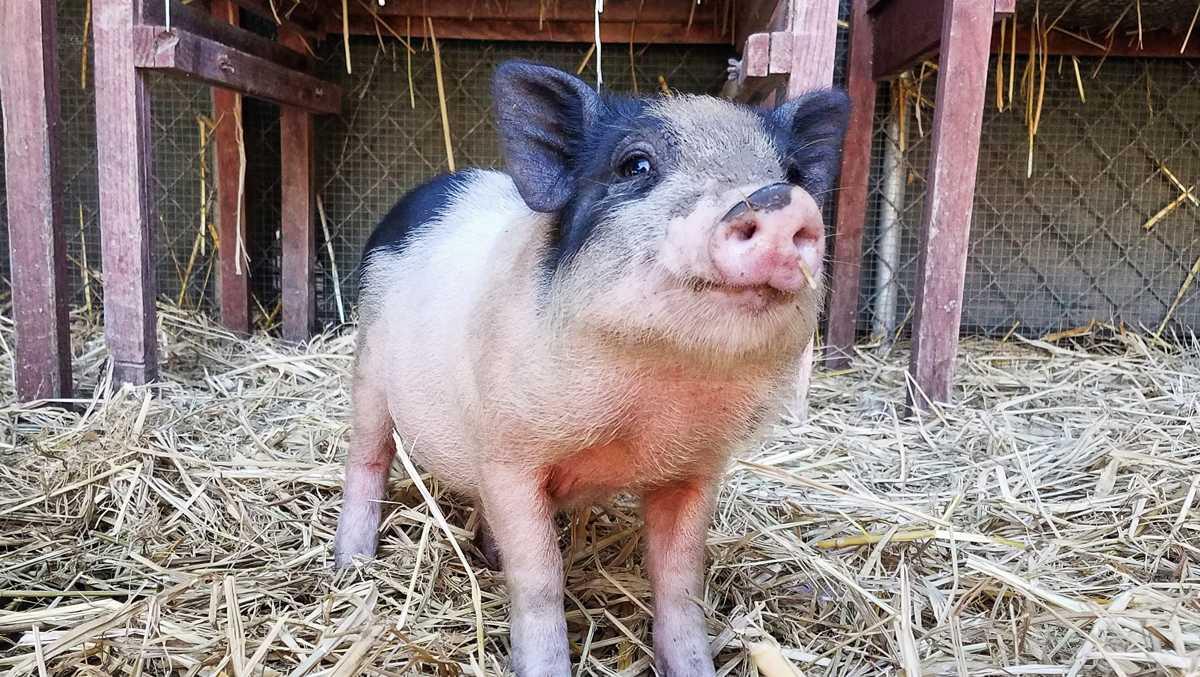 Pig found