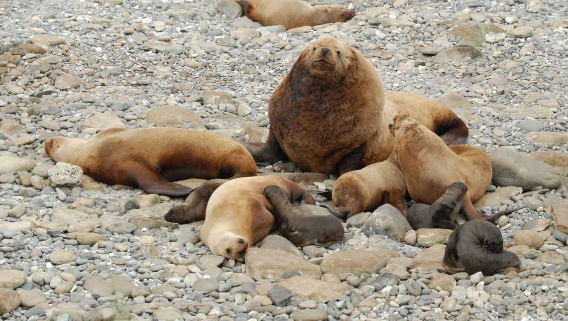 Steller sea lions in the western Aleutians.