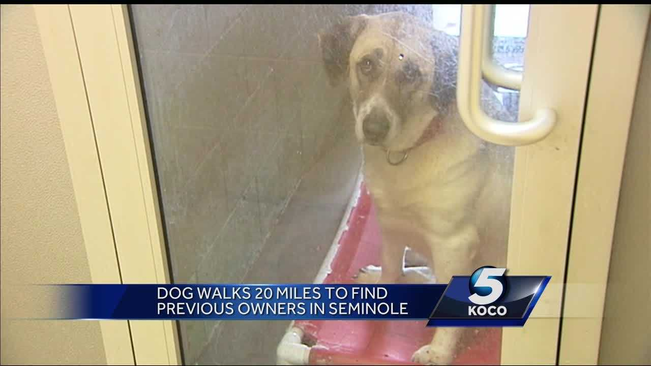 Dog walks 20 miles twice to find family that moved, couldn't keep her
