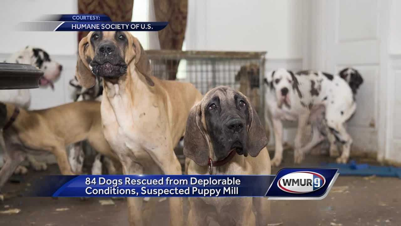 over 80 great danes rescued from wolfeboro business