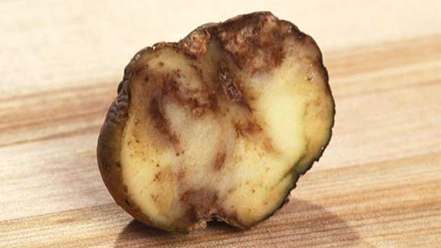 Potatoes infected with late blight are shrunken on the outside and rotted inside, according to the USDA.