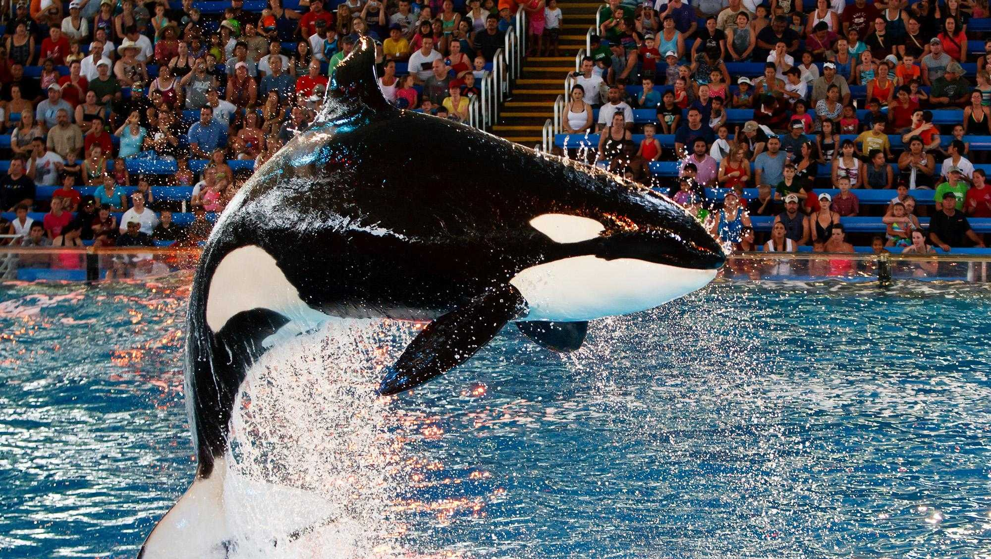 "A killer whale leaps into the air during the new ""One Ocean"" killer whale show at SeaWorld San Antonio on June 10, 2011. Orcas kept in captivity are under severe stress."