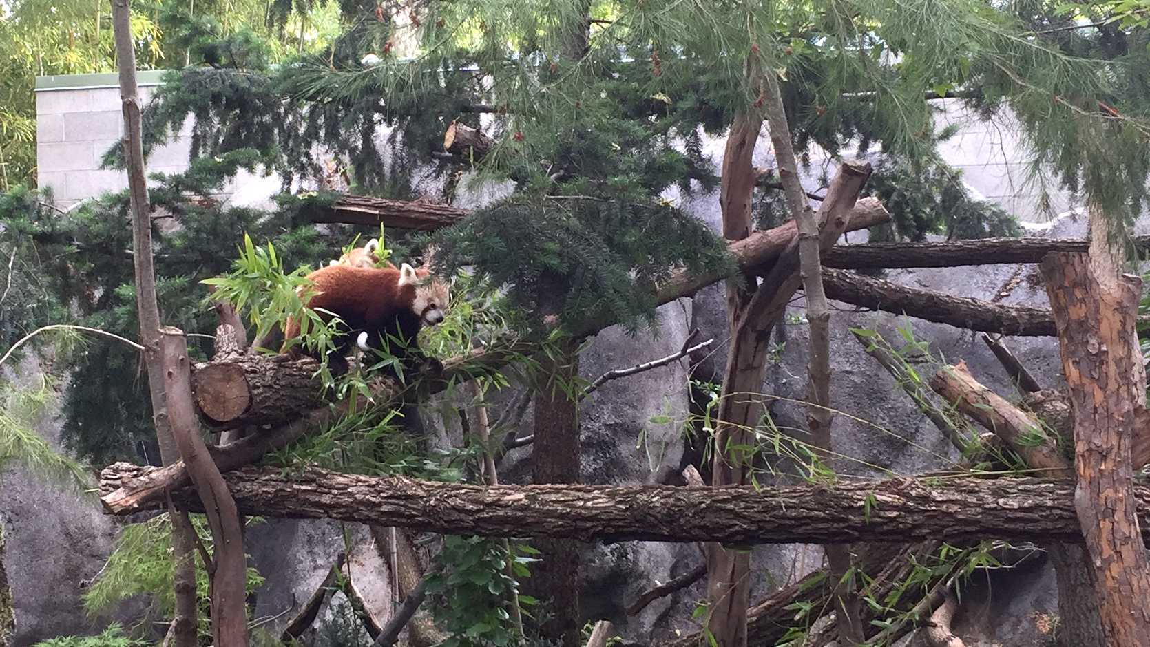 Two red pandas at the Sacramento Zoo eat bamboo in their exhibit.