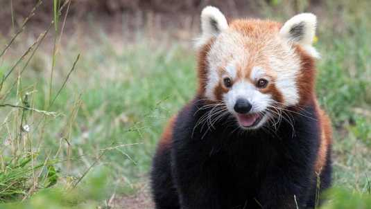 One of the red pandas at the San Francisco Zoo.