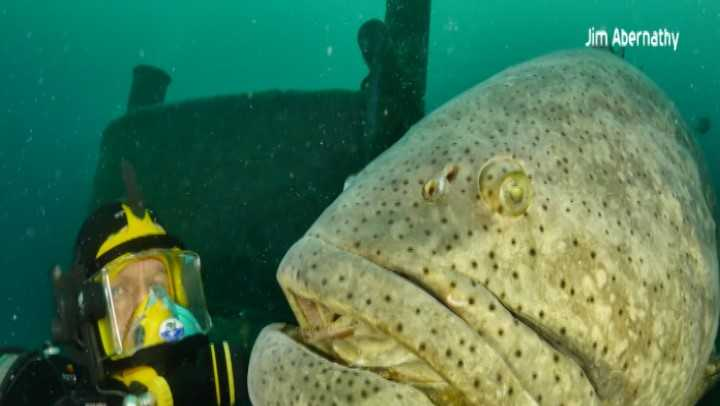 Will fwc allow fisherman to harvest goliath groupers for Marco island deep sea fishing