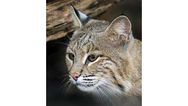 escaped bobcat